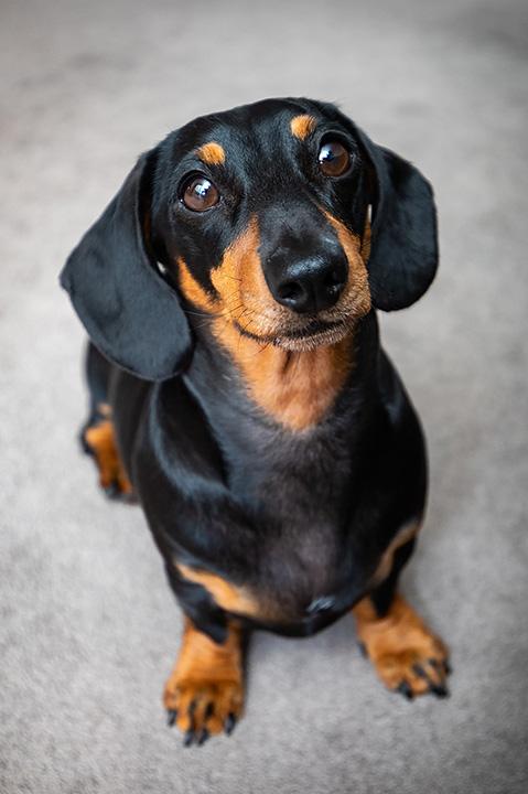 miniature sausage dog